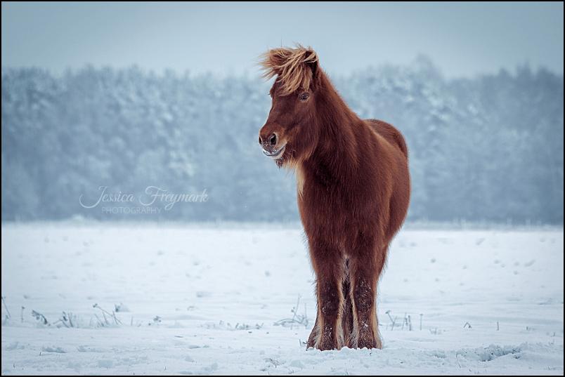 Islandstute Branda im Schnee stehend