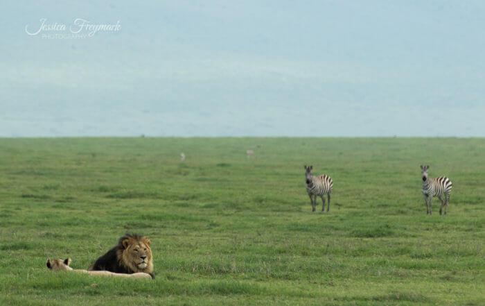Zebras beobachten Löwen