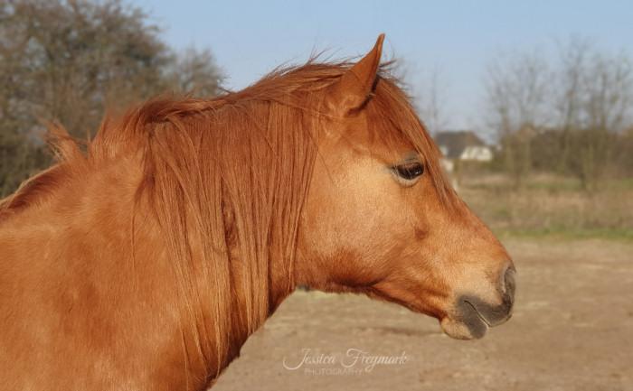 Pferd mit geradem Hals von der Seite fotografiert.
