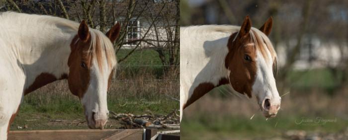Links Pferd vor scharfem Hintergrund, rechts Pferd vor unscharfem Hintergrund