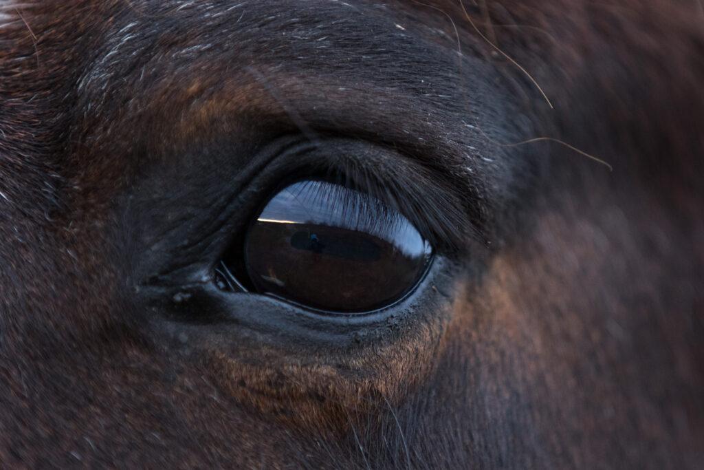 Licht im Pferdeauge