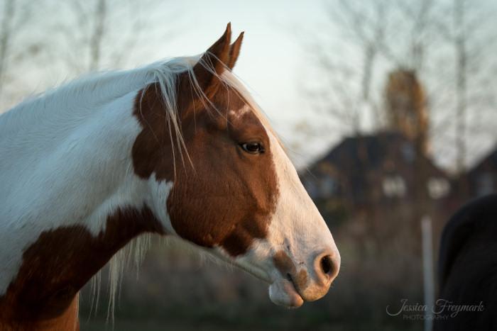 Solche Lichtreflexe lassen das Pferdeauge lebendig wirken. Außerdem schön zu sehen: weiches Licht erzeugt weiche Schatten.