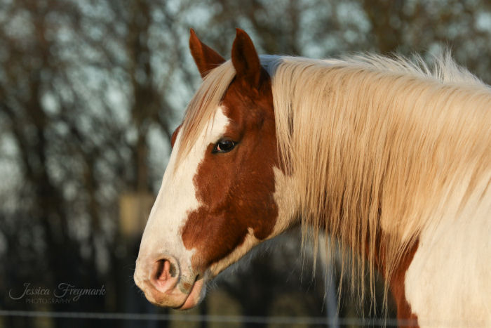 Entspanntes Pferd mit aufgeblähten Nüstern