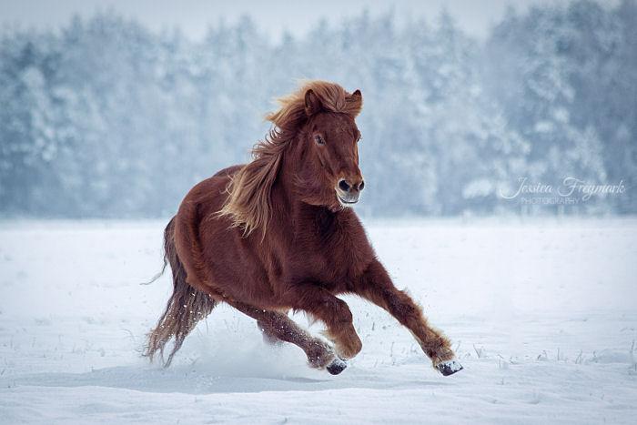 Pferd galoppiert durch den Schnee