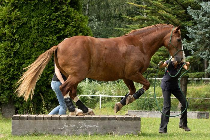 Pferd springt vom Podest runter